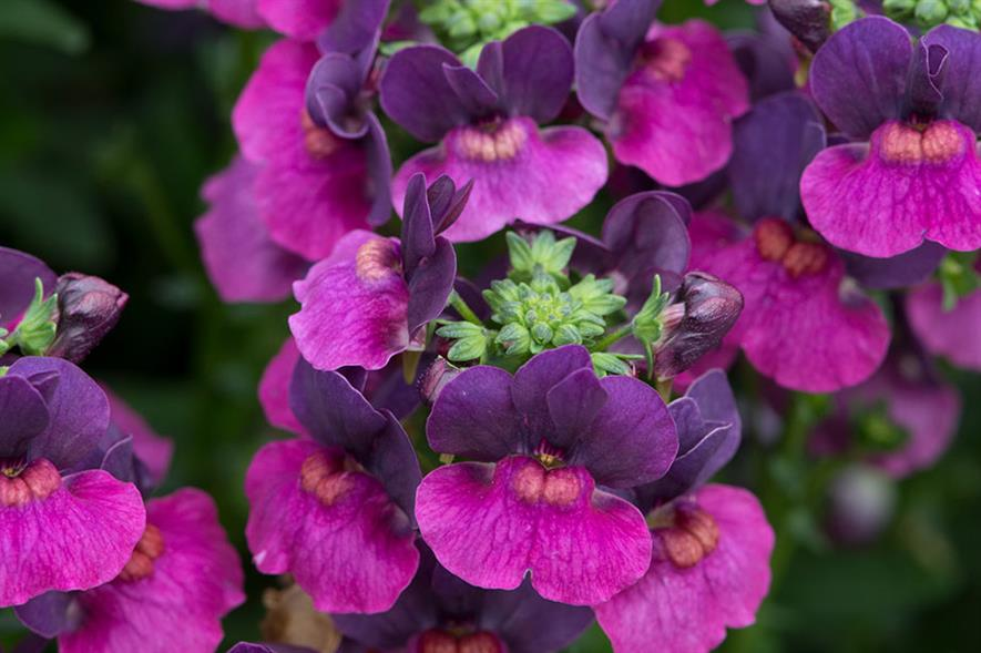 Nemesia Lady Lisa - credit: Ball Colegrave