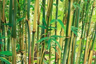 Bamboo Himalayacalamus hookerianus - photo: GPL