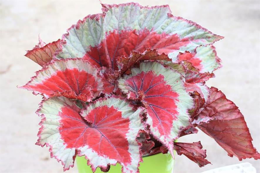Begonia Pink Spirit - image: Dibley's Nurseries