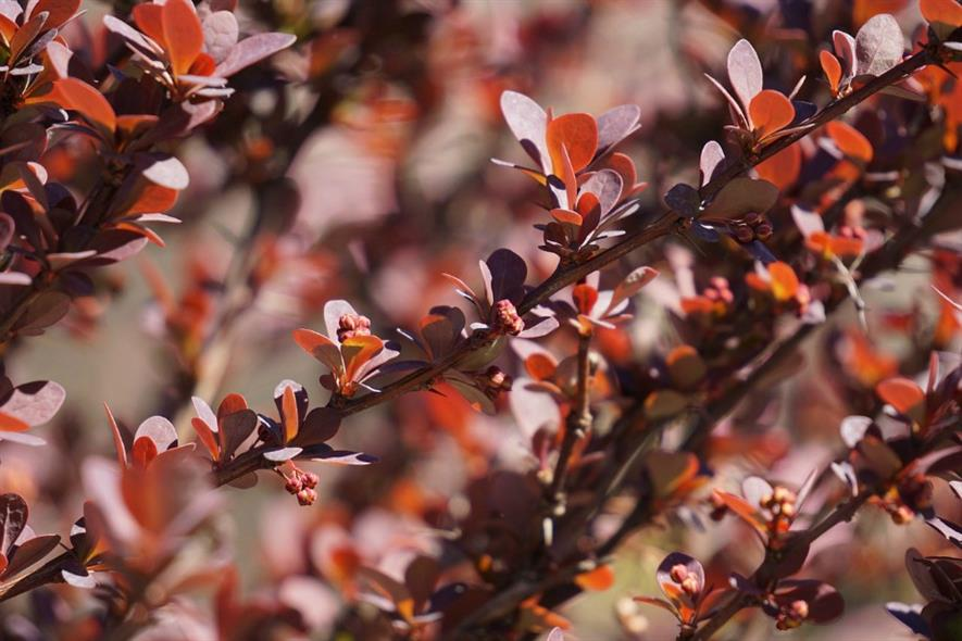 Berberis vulgaris hedging among garden's sustainability initiatives. Image: Pixabay