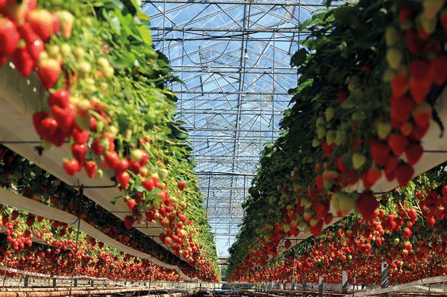 Image: Berries Direct Farming