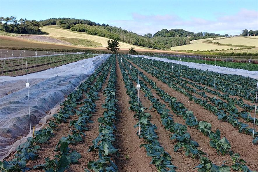 Brassica trials at ESG - credit: East of Scotland Growers