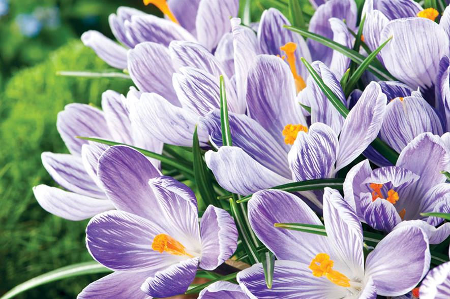 C. 'Pickwick' - image: Floramedia