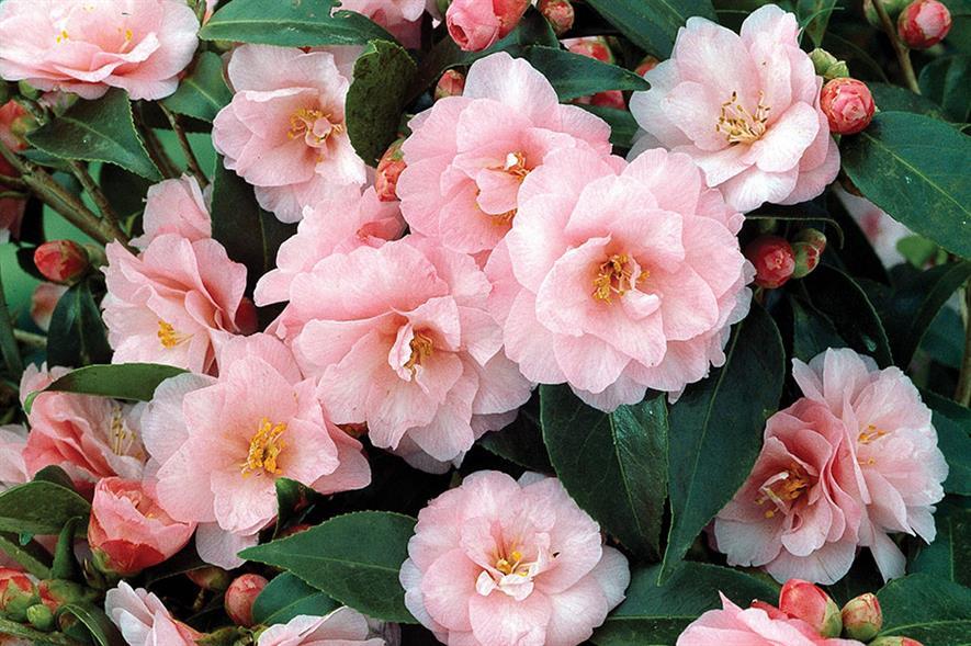 C. 'Spring Festival' - image: Floramedia