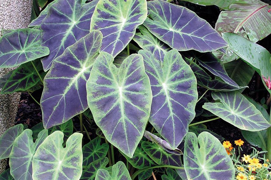 C. esculenta 'Illustris' - image: Floramedia