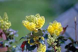 Mahonia aquifolium  - image: FlickR/Tim Dobbelaere