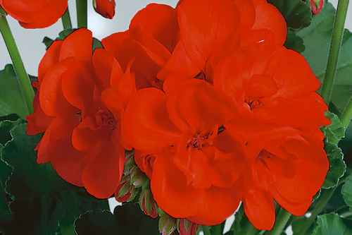 Pelargonium 'Anthony' - Pac Elsner