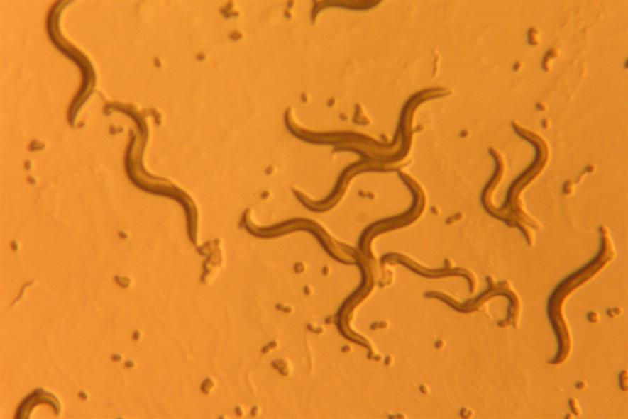 Caenorhabditis elegans nematodes - image: Flickr/snickclunk
