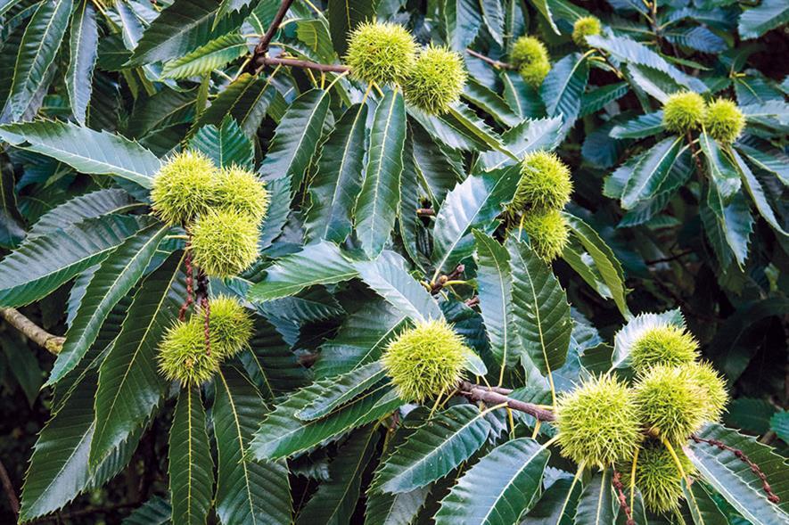 C. sativa chestnuts - image: Floramedia