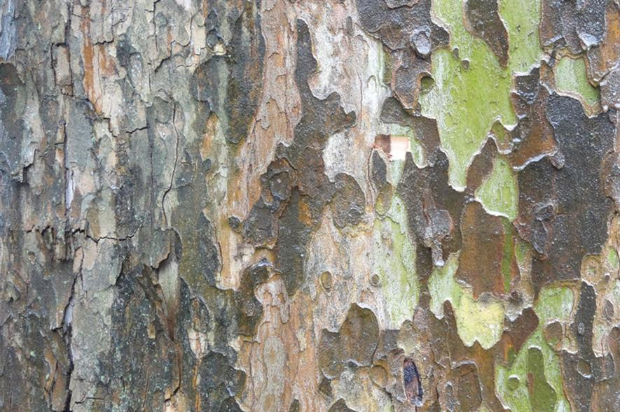 Canker stain of plane: aggressive fungal disease can kill trees in two-to-five years - credit: Roouul
