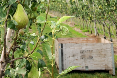 The Concept Pear Orchard - image:East Malling Limited