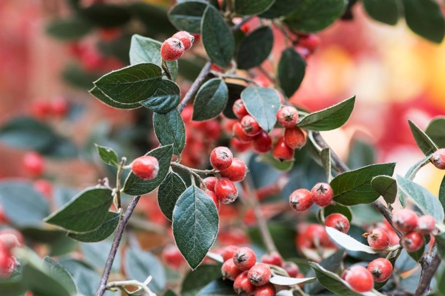 The hairy-leaved Cotoneaster franchetii - credit: RHS