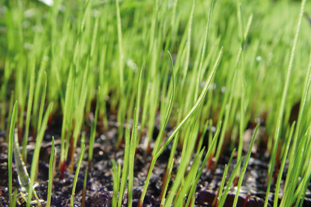 Grass seedlings - image: Flickr/Scott Robinson
