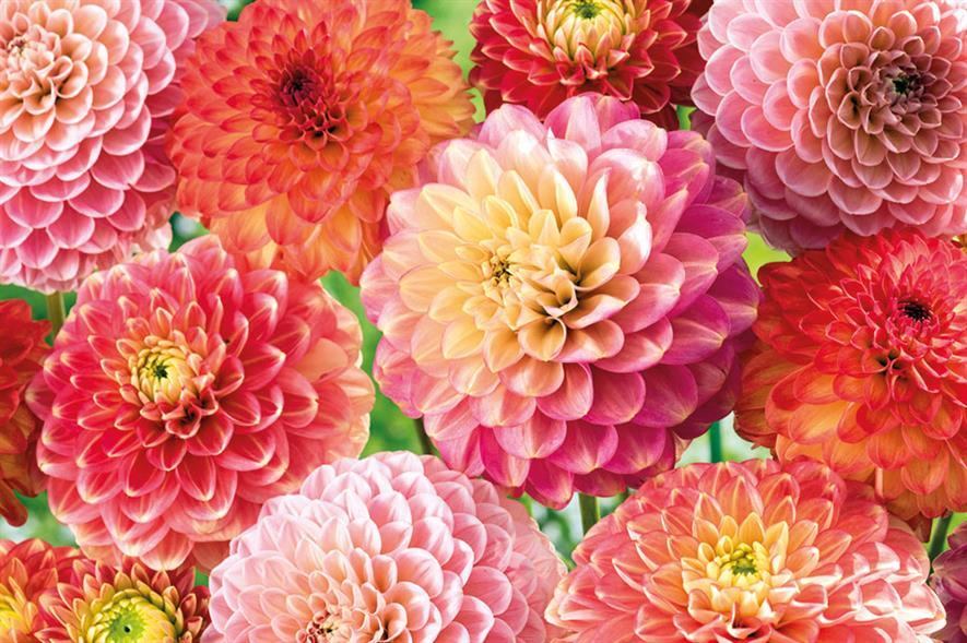 Dahlia mix - image: Floramedia