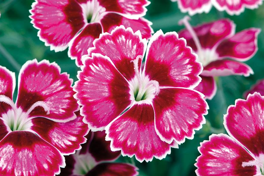 Diantus 'Flutterby' - image: Whetman Plants International