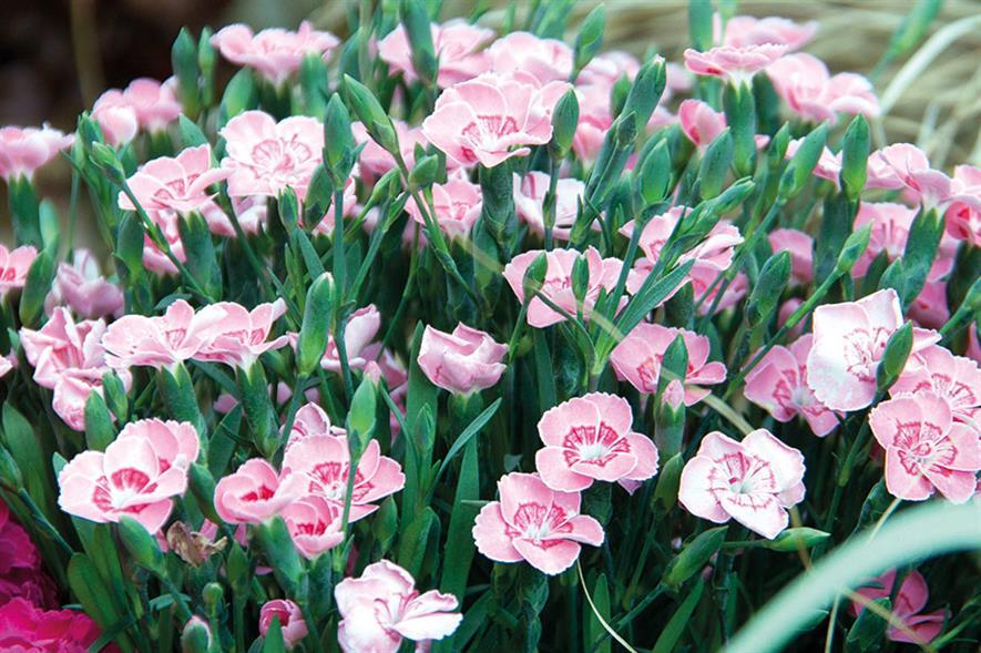 Dianthus 'Peach Party' - image: Pentland Plants
