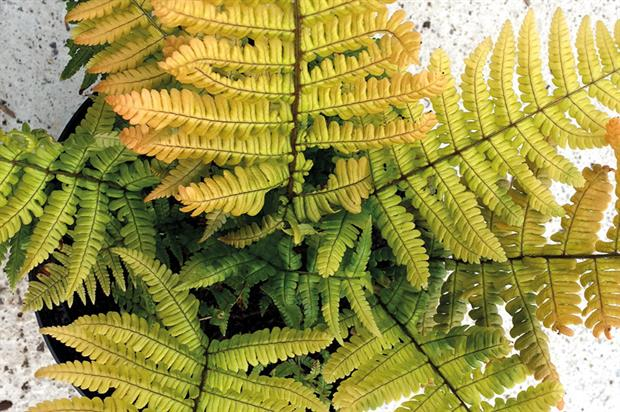 Dryopteris 'Jurassic Gold' is a UK-bred fern - image: Seiont Nurseries