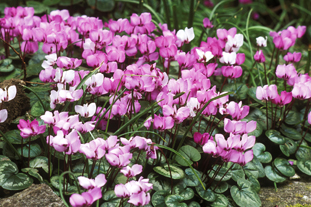 C. coum AGM. Image: Garden Picture Library