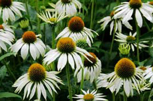 Echinacea purpurea 'White Swan' - photo: Istockphoto