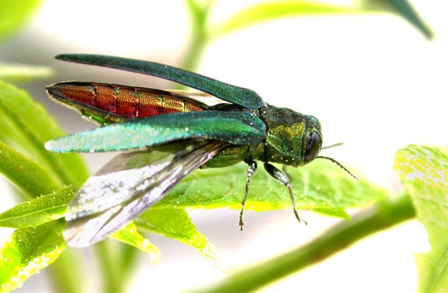 Emerald ash borer - image: IUCN