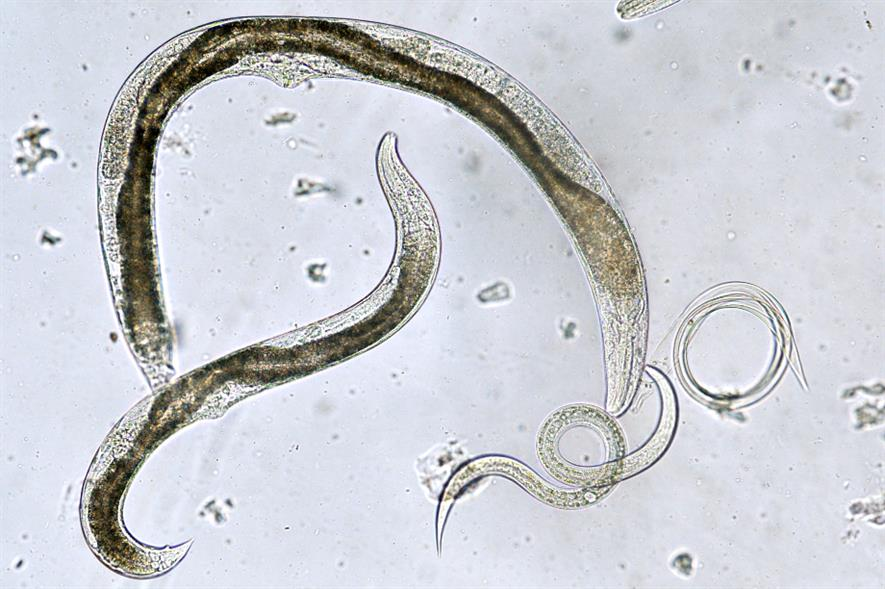 Entomopathogenic nematodes - credit: Bionema