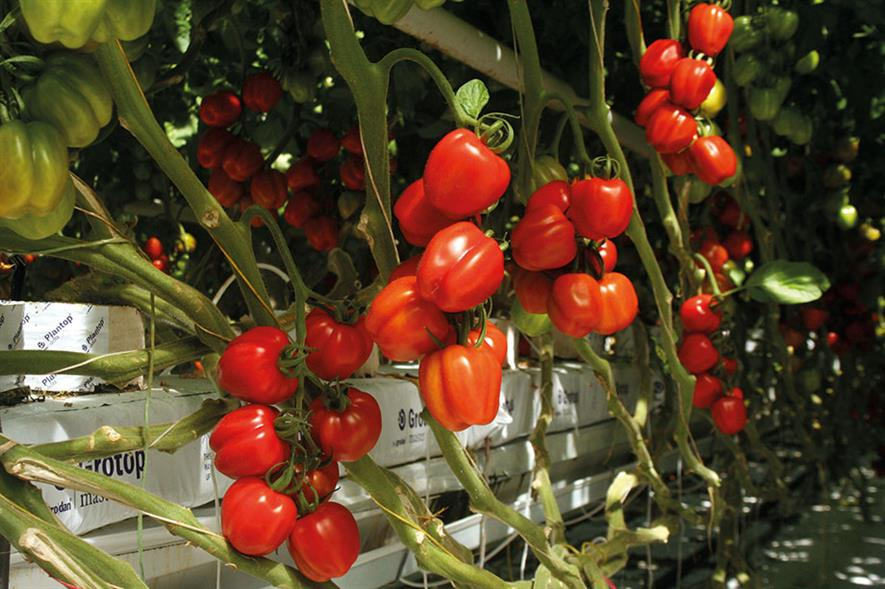 Grodan: says use of stone wool in glasshouse salad growing enables greater precision - image: HW