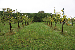 Rootstocks - A Bramley's Seedling trial compares EMR rootstocks with M27 - image: Brian Lovelidge