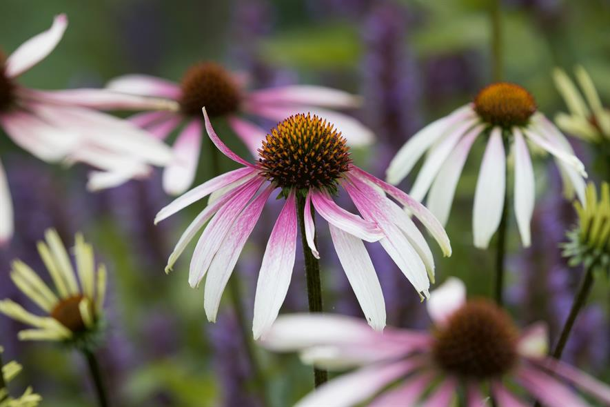 Echinacea 'Pretty Parasols' (Fairweather's Nursery) - credit: Richard Loader (and for Salvia 'Caradonna Pink Inspiration')