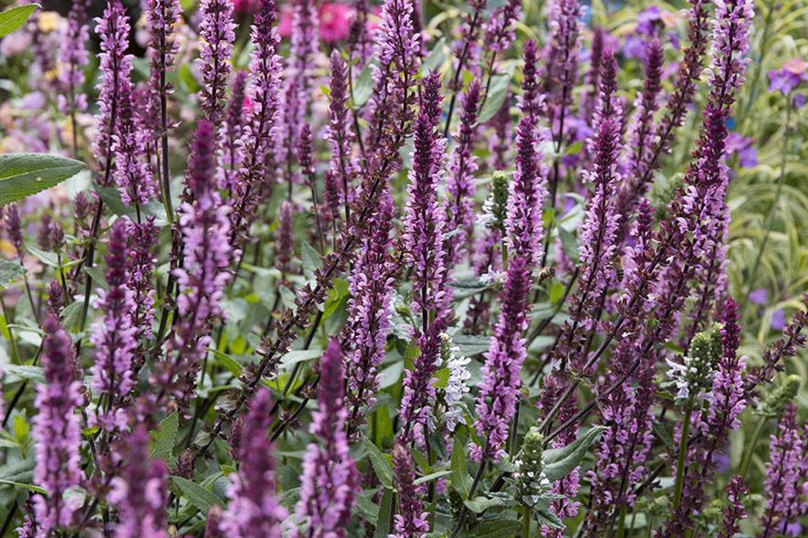 Salvia Caradonna Pink Inspiration by Fairweathers - credit: Richard Loader