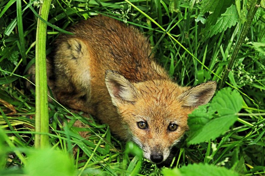Fox. Image: MorgueFile