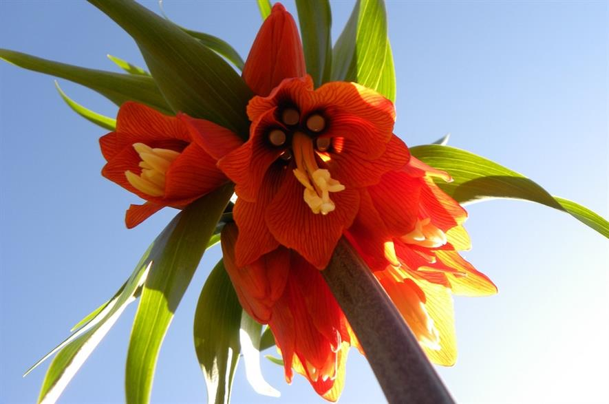 Fritillaria imperialis 'Rubra' once grown. Image: Nicolas_Gent/Flickr (CC BY-ND 2.0)