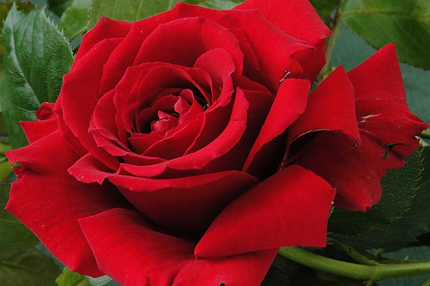 England Rugby Rose - credit: Harkness Roses