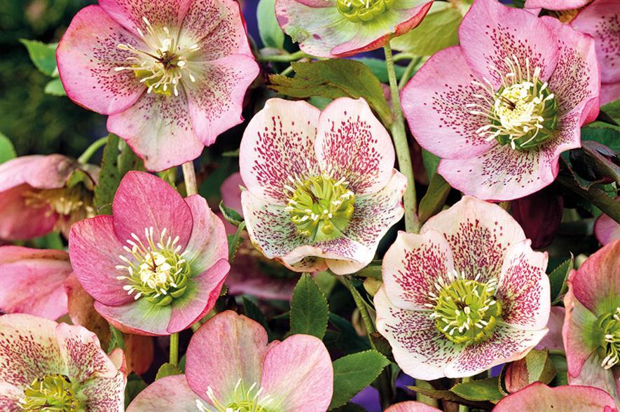 Helleborus orientalis hybrids - all images: Floramedia