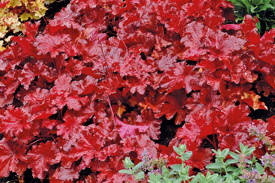Forever Red offers four seasons of foliage in one stable colour - credit: Terra Nova Nurseries