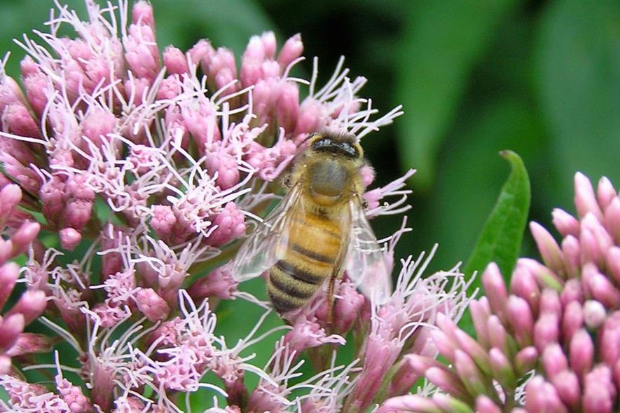 Honey bee on hemp agrimony at Martineau Gardens, Birmingham - credit: Martineau Gardens