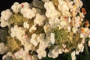 Hydrangea quercifolia AGM - photo: Adrian Thomas