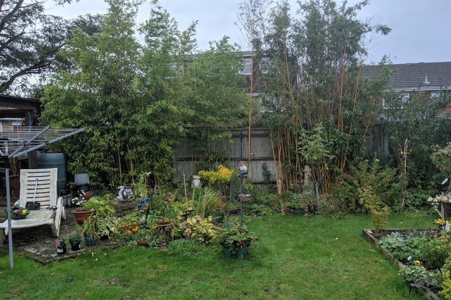 Invasive bamboo growing in garden in Reading, Berkshire - image: Environet