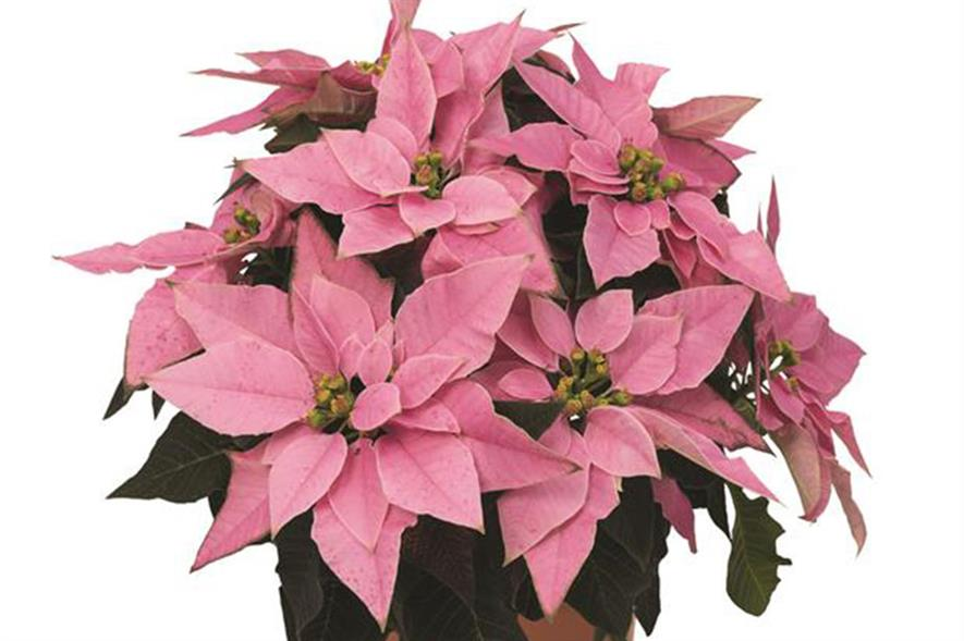 J'adore Pink poinsettia - image: Wyevale