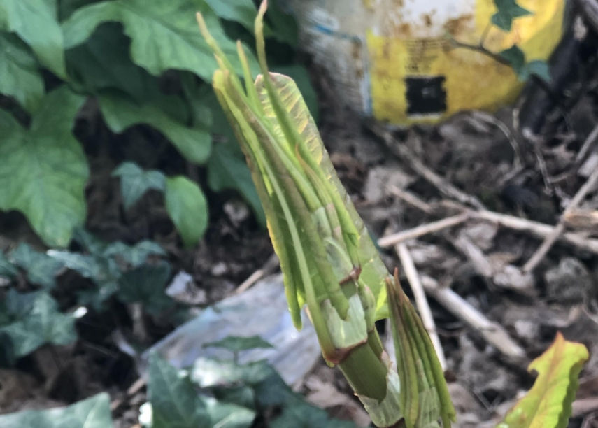 Japanese knotweed could start growing early. Image: The Property Care Association
