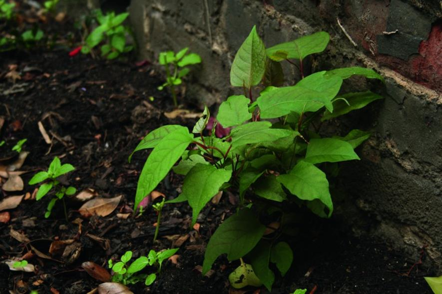 Japanese knotweed. Image: HW