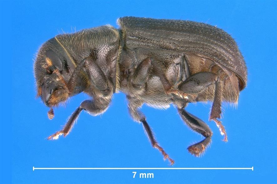 Jeffery pine beetle (Dendroctonus jeffreyi) - image: Bugwood/Erich G. Vallery (CC by 3.0)