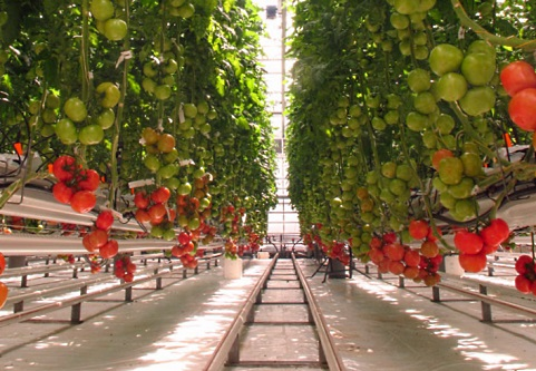 Tomato-growing trial - image: PlantResearch