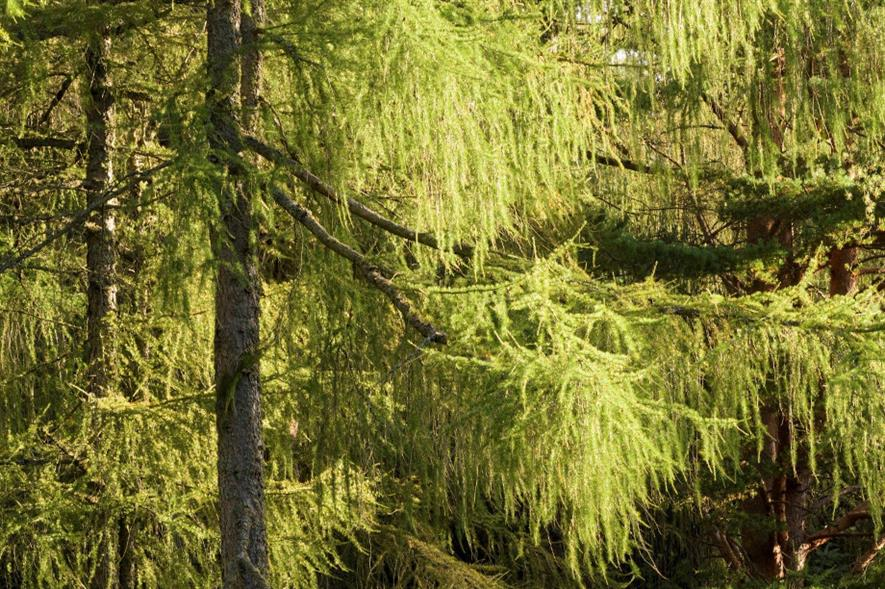 Phytophthora ramorum kills larch and has no known cure - credit: Forestry and Land Scotland