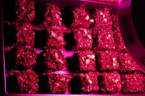 Seedlings under LED lighting - image:Morguefile