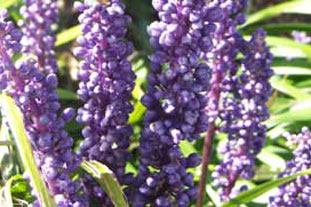 Lirope muscari AGM - photo: Graham Clarke