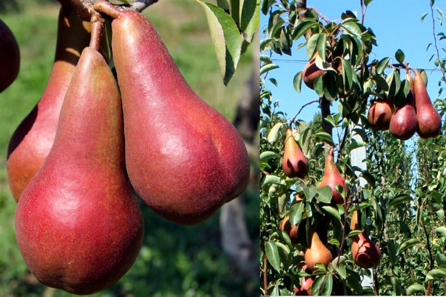 The Lucy Red pear - image: University of Bologna