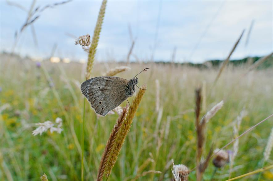 Meadow brown butterfly at Three Hagges Woodmeadow - credit: L.Campbell