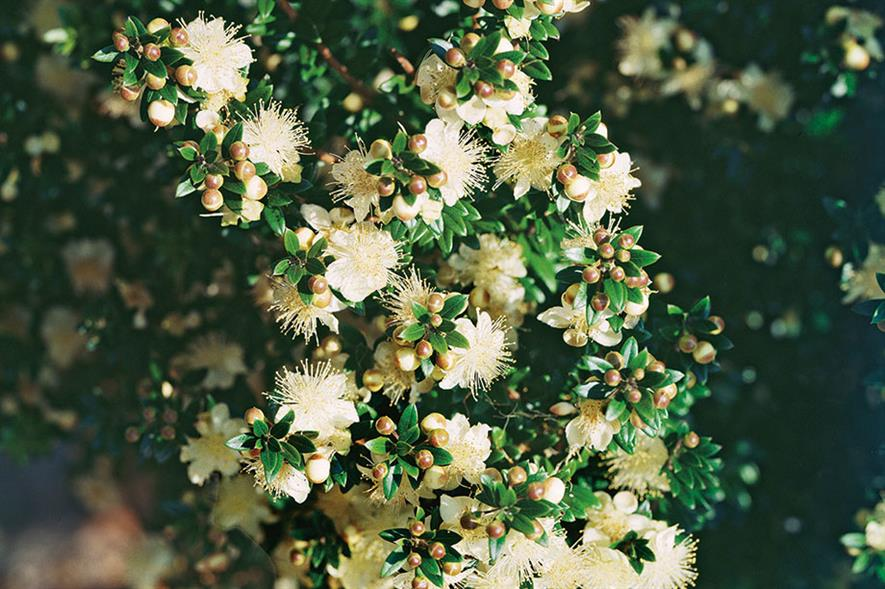 Myrtus communis tarentina - all images: Floramedia