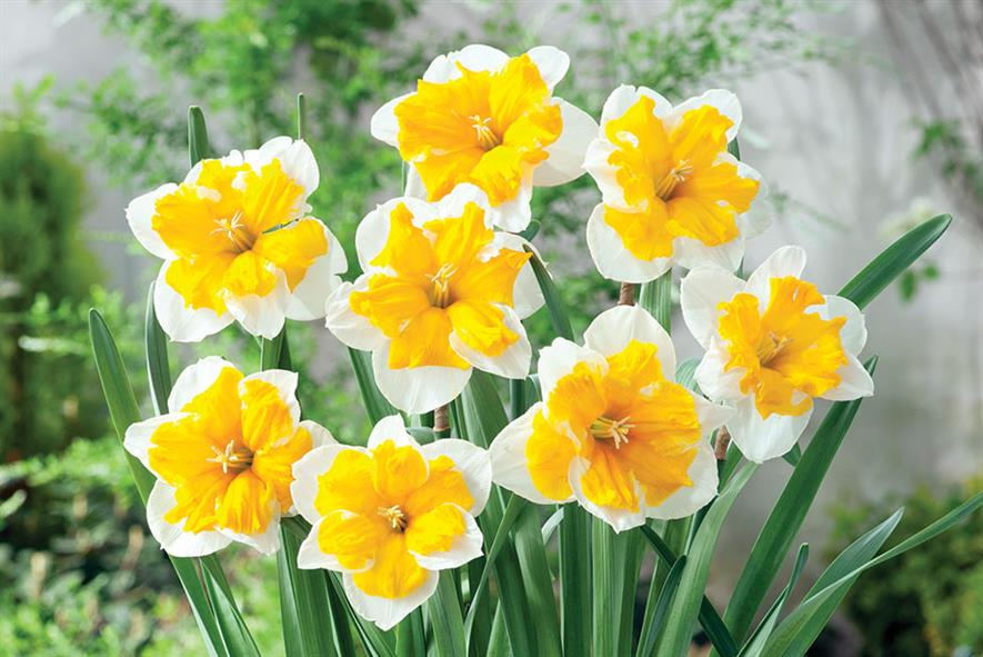 Narcissus 'Orangery' - all images: Floramedia