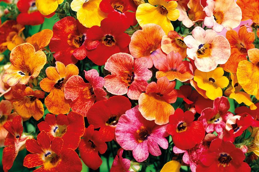 Nemesia strumosa mix - all images: Floramedia